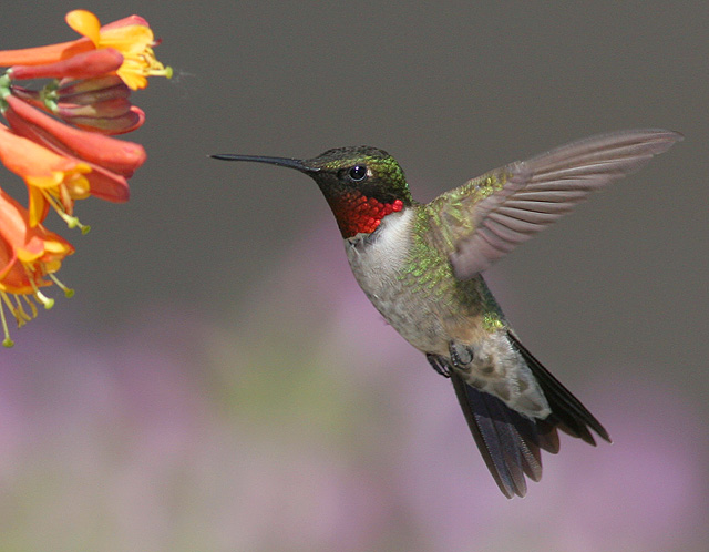 Ruby Throated hummingbird, S. Dakota