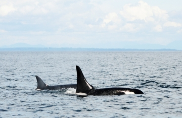 oldest known Orca, Awesome Stories
