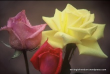 roses, passion, poetry