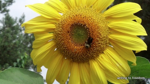 sunflowers, garden delights
