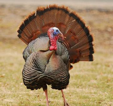 Turkey Tales, poetry