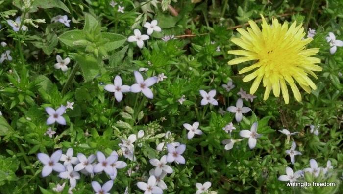 dandelion, edible plants