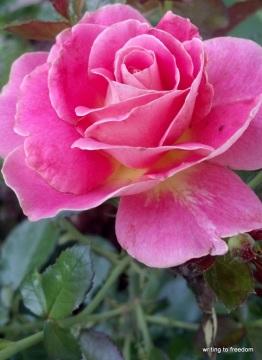 rain, flowers, beauty