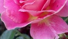 love, poetry, roses