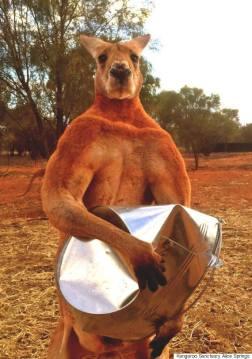 kangaroos, Awesome Stories