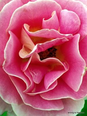 roses, love, open