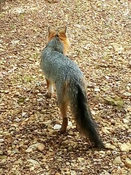 fox, poetry