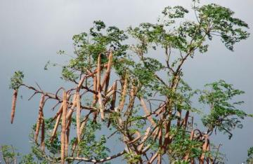 Moringa Tree, Awesome Stories