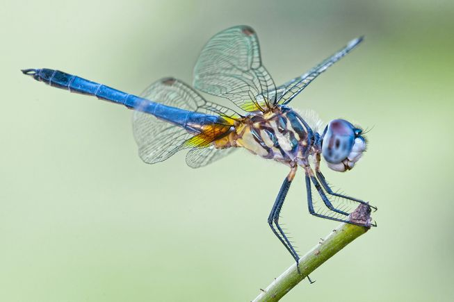 blue dragonfly - Bonnie Taylor Barry/ Shutterstock