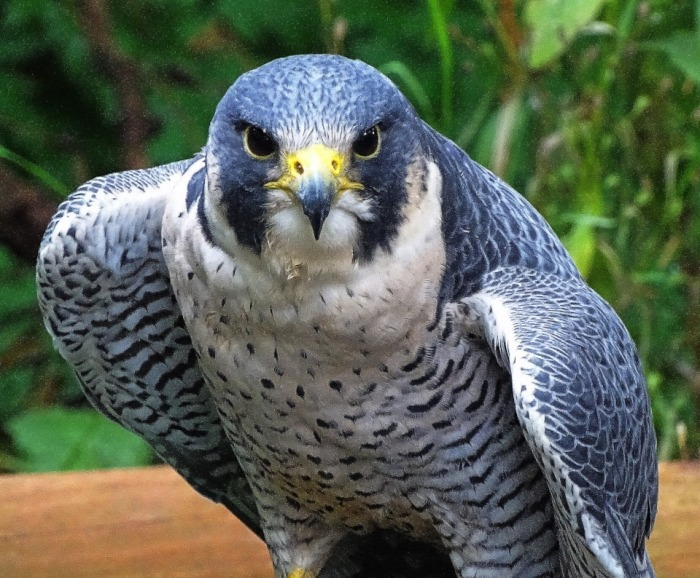 peregrines, speed, beauty, poetry