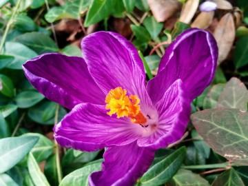 Crocus, spring, poetry