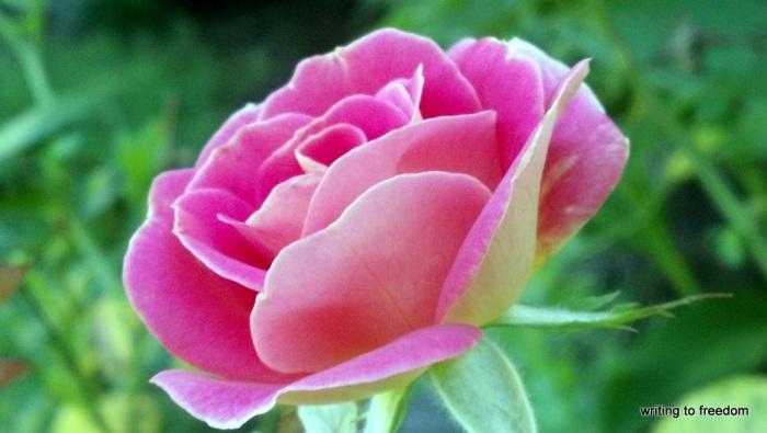 roses. valentine's day