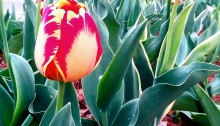 tulips, poetry, #NaPoWriMo