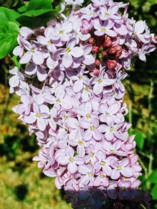 lilacs, poetry, #NaPoWriMo