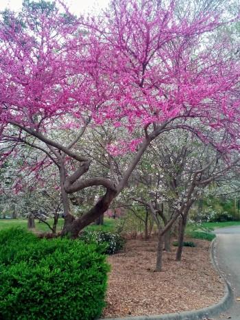 redbud, spring, poetry, #NaPoWriMo