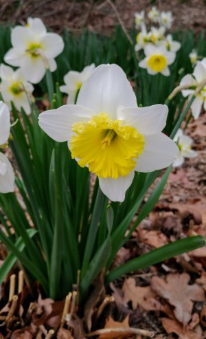 daffodils, poetry