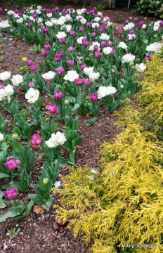 tulips, spring, poetry
