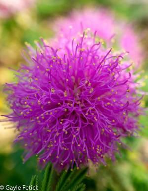 flowers, bashful. poetry