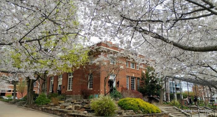 cherry blossoms, spring