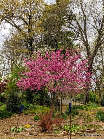 redbud, spring