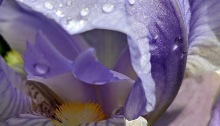 irises, spring